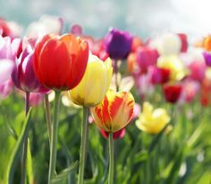 For pity's sake, let's figure out how to make tulips last year after year