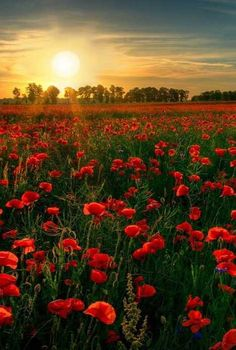 Both images above depict fields of poppies, both display locations in England, and both were discovered and captured by the lens of award-winning photographer Antony Spencer. Though it's true poppies have their dark side, these strikingly beautiful images help bring balance to a much-maligned flower best seen in the light of a lovely English day.