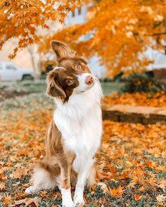 Australian Shepherd Husky, Australian Shepherds, Border Terrier, Husky Mix, Blue Merle, Dog Selfie, Golden Retriever, Dogs Of The World, Working Dogs