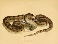 reptiles_and_amphibias-00773  coluber canus Pseudaspis cana