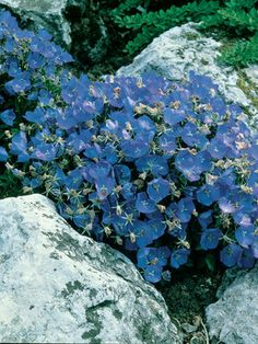 Carpets of blue. Spreads nicely if soil is cool and well drained full sun plant blooms early summer to fall