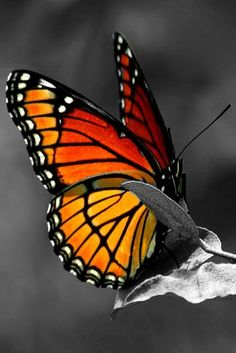 """~Monarch Butterfly ~""""His talent was as natural as the pattern that was made by the dust on a butterfly's wings. At one time he understood it no more than the butterfly did and he did not know when it was brushed or marred.""""  Ernest Hemingway~"""