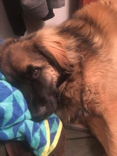 This is my Leonberger Imre...such a gentle soul with eyes that melt❤