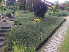 skalníkový porost jako náhrada trávníku ve svahu