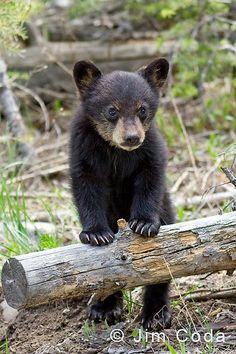 yellowstone | Black Bear Spring Cub, Yellowstone National Park