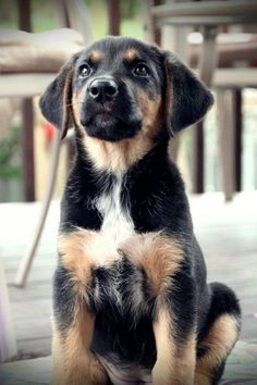 Irish Wolfhound x Rottweiler x Labrador Retriever Crockett Lab Mix Puppies, Cute Puppies, Dogs And Puppies, Rottweiler Lab Mix Puppy, Husky Lab Mixes, Poodle Puppies, Spaniel Puppies, Pet Dogs, Dog Cat