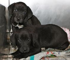 Longview, Texas. Rescue wants BADLY but must have foster until transport can pick them up & take them to  home in NJ. Contact 903-297-2170 if you can help save these precious ones!