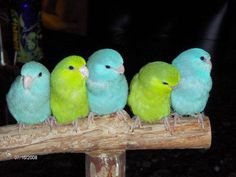 Pacific Parrotlets, found in Peru and Ecuador