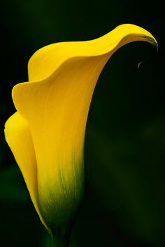 Loved my yellow Calla Lily's at my wedding.