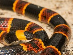 Don't use a tourniquet, cut the bite, or suck out the venom if you're bitten by a venomous snake. First Aid Treatment, Coral Snake, The Venom, Snake Venom, Animals Of The World, Natural Disasters, Amphibians, Live Life, Survival Tips