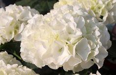 Hortensja ogrodowa – odmiany, uprawa, cięcie - TwojOgrodek.pl Hydrangea Macrophylla, Rose, Flowers, Plants, Business, Hydrangeas, Nth Root, Branches, Pink