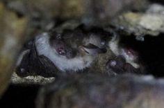 Murin de Natterer (Myotis nattereri)