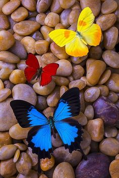 Blue Butterfly Discover Three Colorful Butterflies by Garry Gay Three Colorful Butterflies Photograph by Garry Gay Blue Butterfly Wallpaper, Flower Phone Wallpaper, Butterfly Painting, Heart Wallpaper, Butterfly Art, Colorful Wallpaper, Wallpaper Backgrounds, Beautiful Flowers Wallpapers, Beautiful Nature Wallpaper