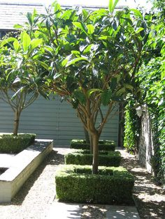 Loquat tree. Eriobotrya Japonica