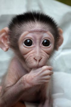 #Cutest animals ever #baby #monkey at Mangabey_Museum-of-Natural-Historylead