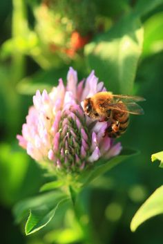 A bee on a clover flower, Parana Delta, Argentina | Éric Tourneret, The Bee Photographer