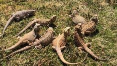 Exotic Pets 770537817476828347 - Sun Basking Time Source by Iguana Pet, Big Iguana, Bearded Dragon Funny, Bearded Dragon Habitat, Cute Reptiles, Reptiles And Amphibians, Animals And Pets, Funny Animals, Funny Pets