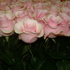 Find more gorgeous pink roses at amazingflowersusa.com