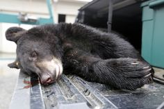 The December hunting segment of black bear hunting begins on Monday. A 85 pound, male black bear killed is brought to the Whittingham Wildlife Management Area check station in Freon where they are tagged by the New Jersey Division of Fish and Wildlife. December 5,  2016 (Patti Sapone   NJ Advance Media for NJ.com)
