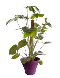 Philodendron avec cache pot violet