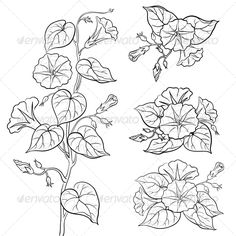 Flowers Ipomoea with Leaves, Contours - Flowers & Plants Nature