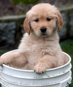 Golden retriever puppy.. I want a little girl named Lucy! How cute would that be?!?! :)