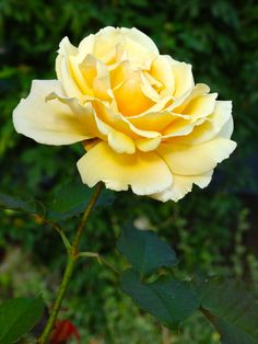 Rose, Rose Bloom, Flower, Yellow