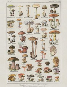 Vintage French Mushroom Botanical Print, a printable vintage illustration from ArtDeco on Etsy, a good source for digital images. Botanical Drawings, Botanical Art, Vintage Botanical Prints, Impressions Botaniques, Illustration Botanique, Mushroom Art, Mushroom Drawing, Mushroom Decor, Wall Collage