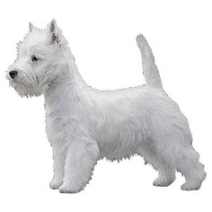 directions on how to cut westie hair - Google Search