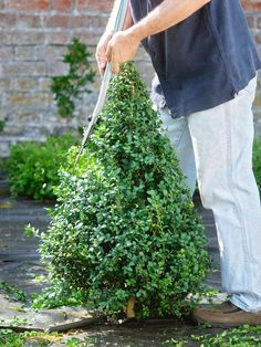 Create a Simple Topiary : Outdoors : Home & Garden Television..... tutorial