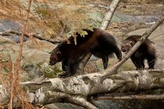 There are thought to be up to 120 Wolverines living in Finland. Although they are scattered across the centre and north of the country, the best areas to look seem to be around Kumho and Lieksa. Nature Pictures, Animal Pictures, Large Animals, Cute Animals, Baby Wolverine, Predator Hunting, Wolverines, Black Bear, Otters