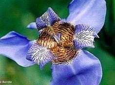 Neomarica caerulea, Lírio-roxo-das-pedras, Lírio-roxo-das-pedreiras, Pseudo-íris-azul