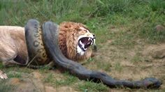 Lion vs Python Real Fight -  DON'T SEE THIS BLODDY FIGHT !