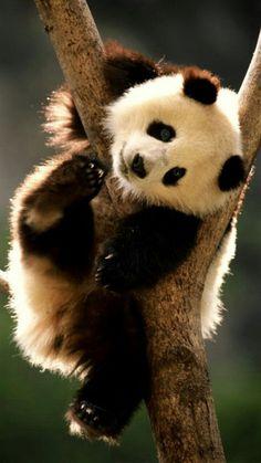 Just Hanging Out! Cute Creatures, Beautiful Creatures, Animals Beautiful, Niedlicher Panda, Cute Panda, Happy Panda, I'm Happy, Nature Animals, Animals And Pets