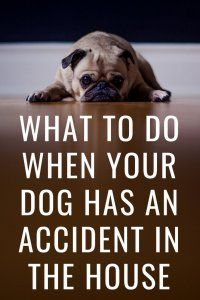 What To Do When Your Dog Has An Accident In The House Dog