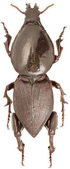 Hypocephalus armatus