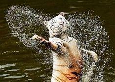Fabulous tiger is fabulous