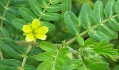 Planta care întinerește organismul, reduce stresul și scade colesterolul! - Secretele.com Tropical, Medical, Maya, Life, Plant, Medicine, Maya Civilization, Active Ingredient
