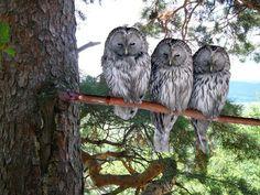 Three owls - are you peeking?