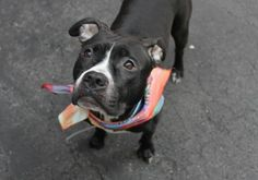 MAPLE – A1068943  FEMALE, BLACK / WHITE, PIT BULL MIX, 2 yrs STRAY – EVALUATE, NO HOLD Reason STRAY Intake condition UNSPECIFIE Intake Date 03/30/2016, From NY 10452, DueOut Date 04/02/2016,  safe