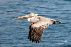 pelican drawings | Brown Pelican Flying Photograph - Brown Pelican Flying Fine Art Print