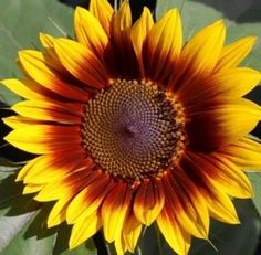 Ring of Fire Sunflower Sunflower Facts, Sunflower Pictures, Sunflower Ring, Sunflower Seeds, Giant Sunflower, Sunflower Colors, Happy Flowers, Summer Flowers, Cut Flowers