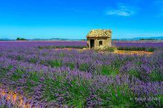 LVD21 - Cabanon et champs de lavandes à Valensole - Alpes de Haute Provence 04
