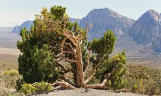 Big Tree in Desert  by Evgeniya Lystsova. Big Tree surrounded by mountains near Red Rock Canyon, Southern Nevada. Nice Nature Landscape for your Home and Office Decor. Wall Art available as Prints (framed, wood, acrylic, metal) and Canvas Prints. SHIPS WITHIN 2-3 business days!
