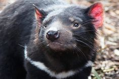 Tassie devil - how can something so adorable have such a bad rep?  Photo courtesy of Jo Unger, wife of Dr. Isadore Unger.