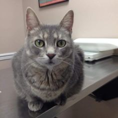 Meet SENIOR of the MONTH! Sweet Marley, a Petfinder adoptable Domestic Short Hair-gray Cat | Riverton, NJ | Marley is approximately 7-8 years oldHe is very sweet and loves to be pettedMarley is a senior boy...