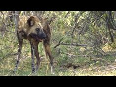 A Quick Look At Saving Painted Dogs #NikelaAfrica