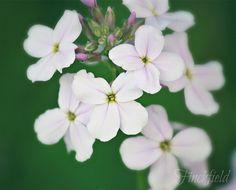 White Phlox  art nature photography white & green by finchfieldart