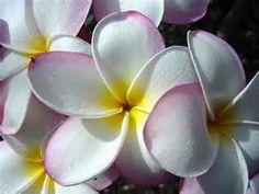 hawaiian flowers - Yahoo! Image Search Results