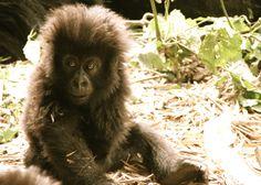 Baby mountain gorilla (Rwanda)